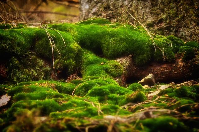 lichen,青苔,苔癬,小黑蚊