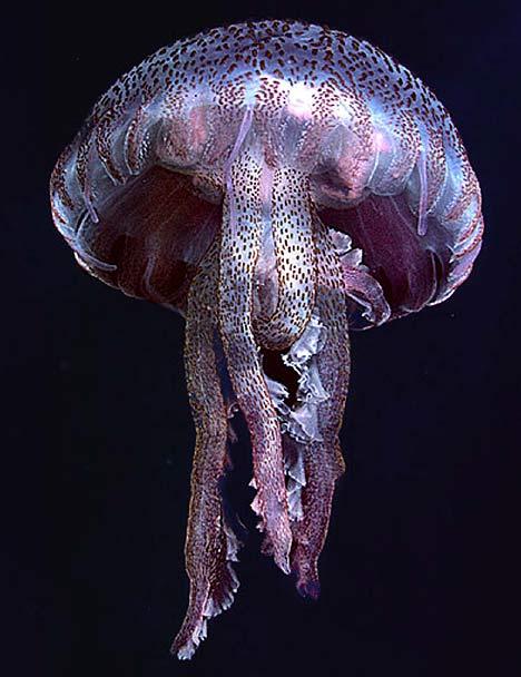 Mauve stinger,紫水母