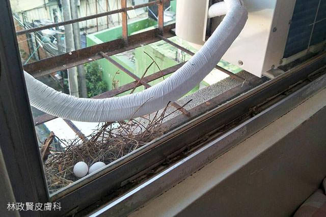 禽蟎,avian,mite,鳥巢